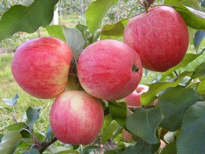 Опт Яблоки с сада