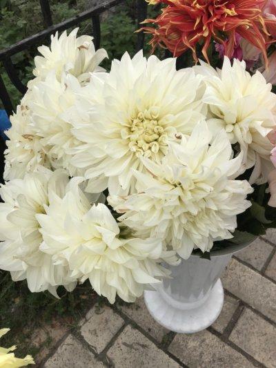Корешки цветов ( георгины, гладиолусы)