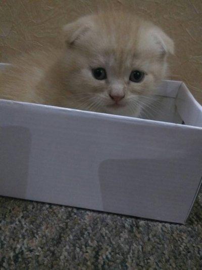 Продам породистых котяи