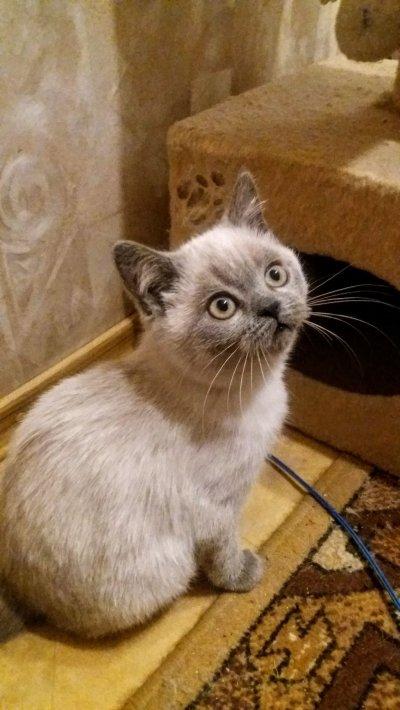 Кошечка блю-поинт