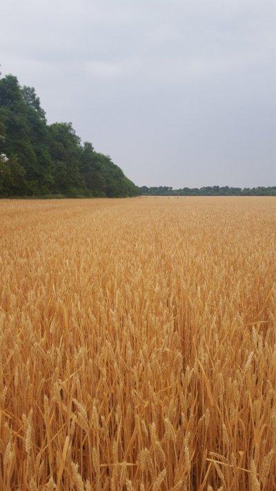 Пшеница сорт зира, акция цена 8100 грн.
