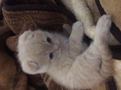 Породистый вислоухий котик ищет дом
