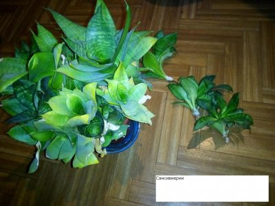 Сансивиерия комнатное и офисное растение