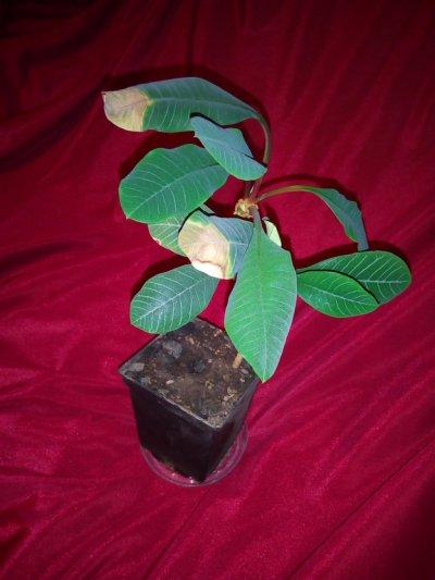 Молочай беложильчатый комнатные растения